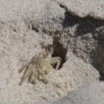 kleine krabbe am strand von byron bay